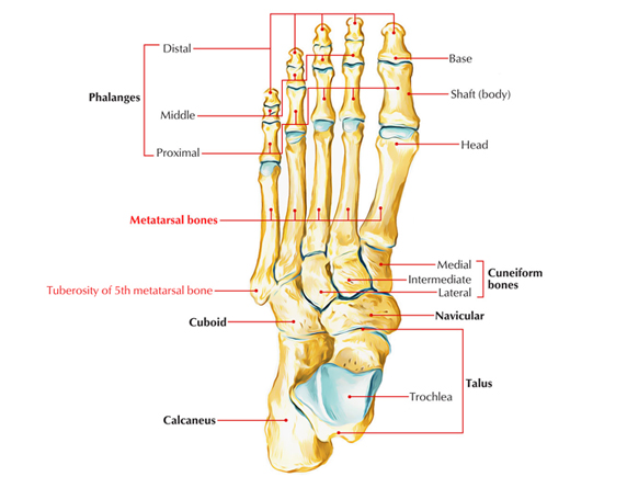 Read more about the article Fractures Of Fifth Metatarsal Rehabilitation & Care